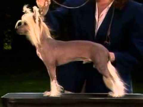 Chinese Crested Breed Standard [Part 4 of 5]