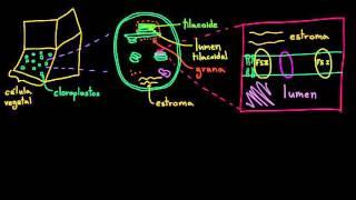 Fotosíntesis: reacciones luminosas 1 | Biología | Khan Academy en Español