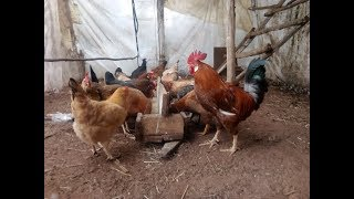 تربية الدجاج البلدي-أهم الأمور التي يجب عليك معرفتها قبل البدأ في مشروع تربية الدواجن