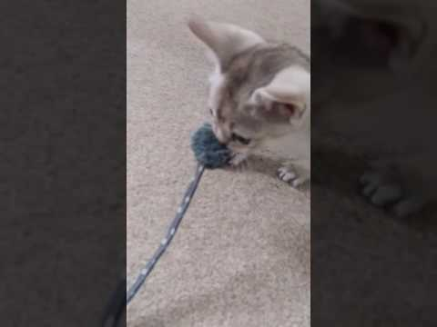 Singapura kitten growls at toy
