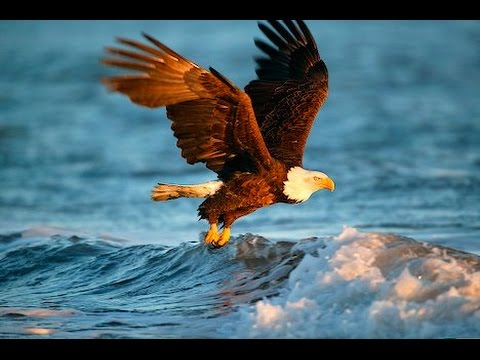 Eagles : Documentary on the Secrets of the Bald Eagles (Full Documentary)