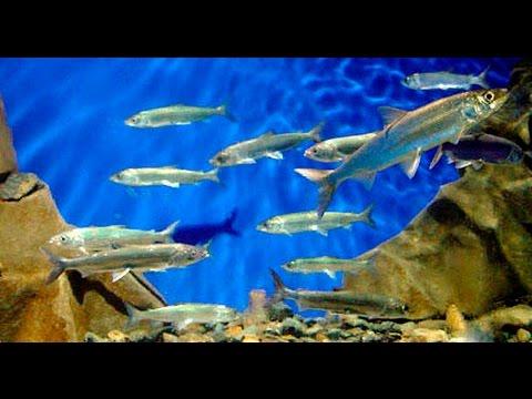 браконьеры ловили осетров в чивыркуйском заливе