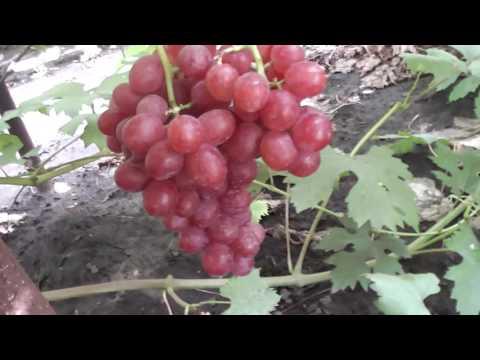 Мускат Соломка и Вкусняшка- новые гибридные формы винограда Голуба Анатолия Алексеевича