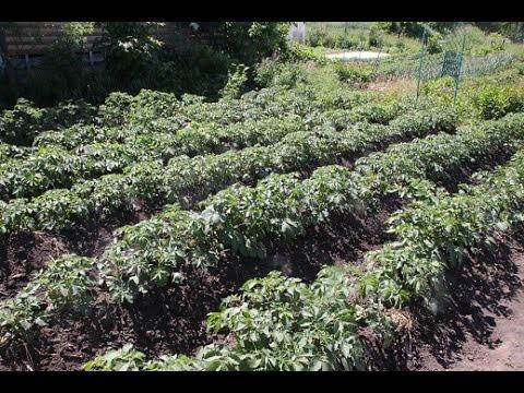 Секреты богатого урожая картофеля: от А до Я.