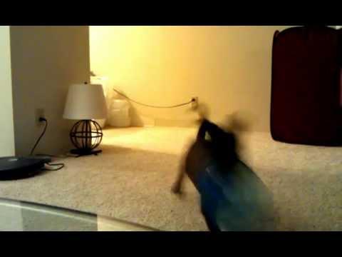 Puppy jump like a bunny. Cute video ~ Hijiki [Pitbull Mix] ~