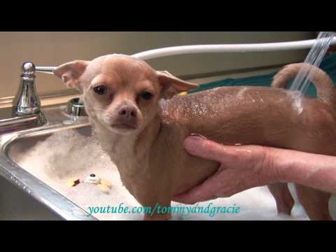 Dog loves getting a bath - Cute Tommy Chihuahua