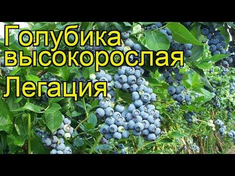 Голубика высокорослая Легация. Краткий обзор, описание характеристик vaccinium corymbosum Legatciia