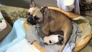 フレンチブルドッグの赤ちゃんがおっぱい飲んでます~ 足かもしれません...