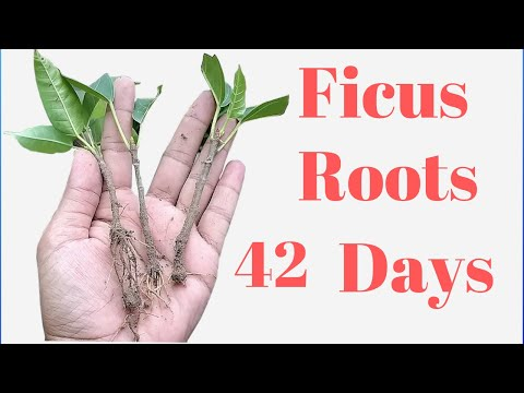 Ficus propagation by Cutting  Pilkhan Ficus Cutting Roots 42 Days