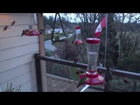 Hummingbirds as the sun is setting in Metchosin