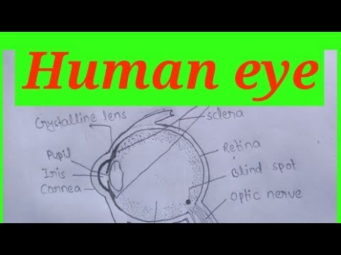 Human Eye Diagram Drawing Easy Steps By Steps With Labelling