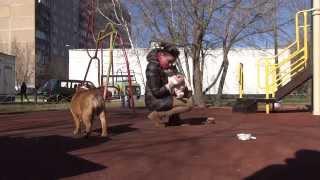 Культурный Шок №3 Первая прогулка Маруси) как приучить щенка к улице. PR company BulldogFILL