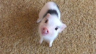 Маленькие Свинки - Милые Маленькие Свиньи. Видео Подборка 2 - [NEW HD]