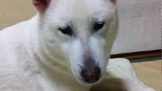 活発なイメージの紀州犬ですが、もっと良く見たいという人のために。 じ...