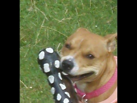 Raver Roxy Staffordshire Bull Terrier puppy.