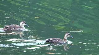 八ヶ岳自然文化園まるやち湖のカルガモ親子