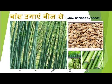 bamboo-growing-by-seeds-|-बांस-को-बीज-से-कैसे-उगाएं-|-bamboo-farming