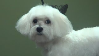 How to Groom A Maltese (Puppy Cut)  DoItYourself Dog Grooming