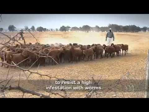 ABC Catalyst S12E21 Masai Sheep