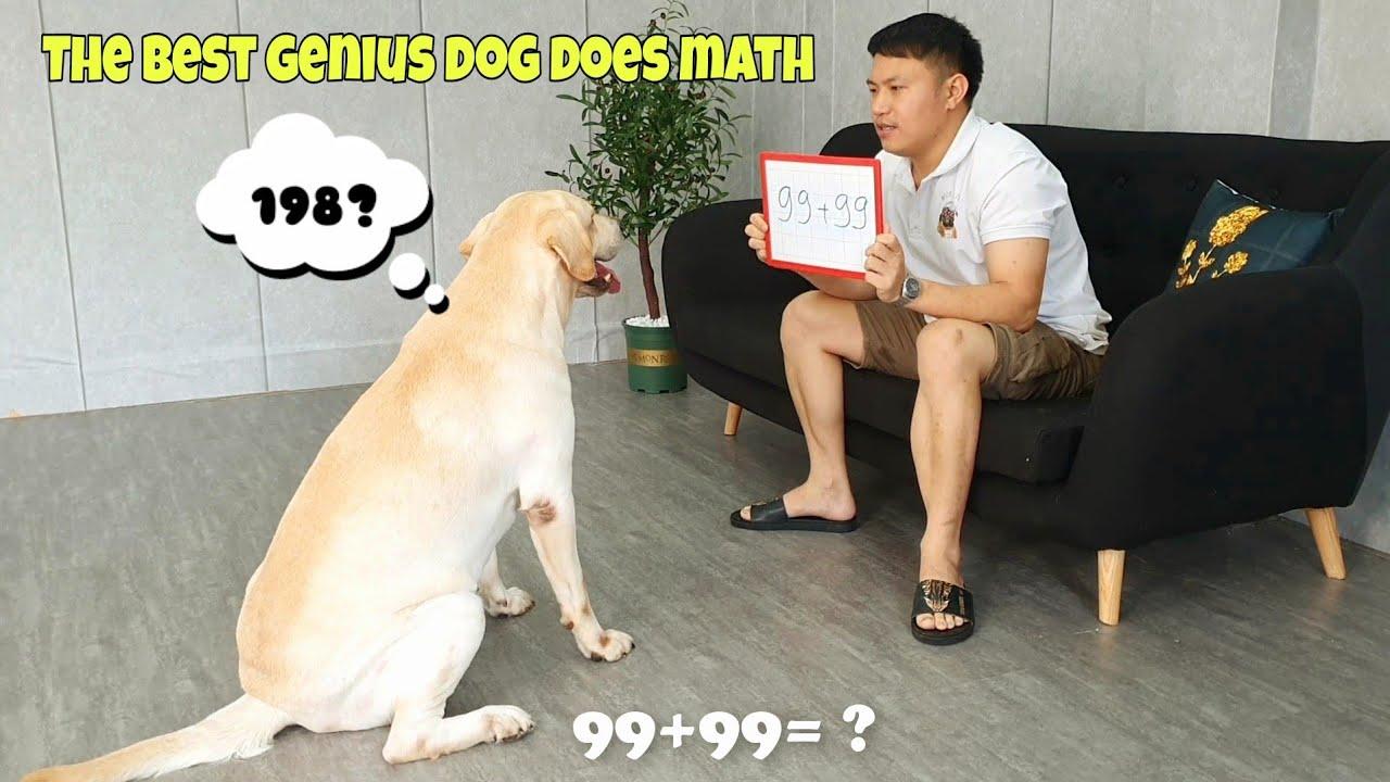 Củ Cải - chú chó siêu trí tuệ làm toán lên 1 tầm cao mới | The best genius dog does math