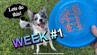Border collie 'PUPPY' frisbee training! / WEEK 1