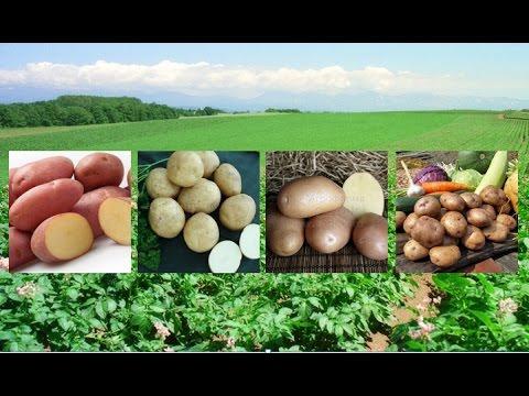 Самые вкусные и урожайные сорта картофеля!