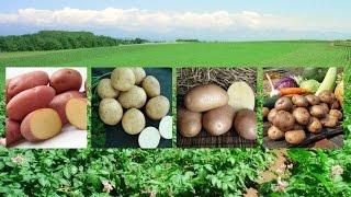 Самые вкусные и урожайные сорта картофеля!(, 2017-03-31T10:46:31.000Z)