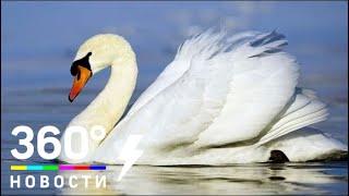 Московский нефтеперерабатывающий завод подарил лебедей со своего пруда столичному зоопарку