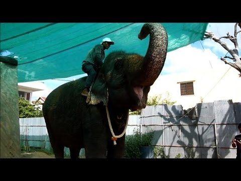 Cambodian capital's only working elephant to retire in jungle