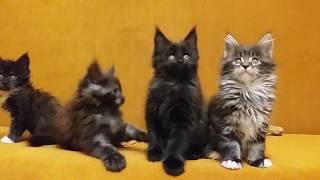 Котята мейн-куны 7 недель
