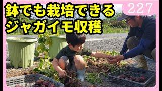 鉢でも栽培可能!ジャガイモの収穫 園芸 家庭菜園 初心者 by園芸チャンネル 227