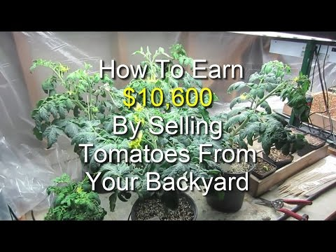 Earn $10,600 By Selling Tomatoes From Your Backyard