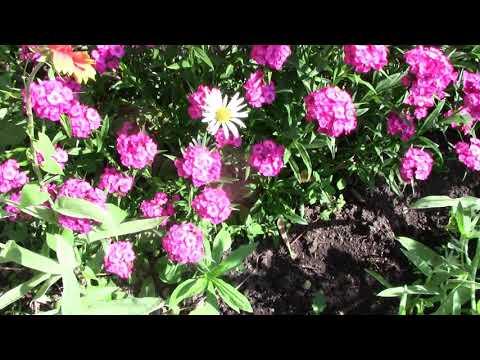 Турецкая Гвоздика Многолетник, размножающийся самосевом. Нужный цветок в вашем саду