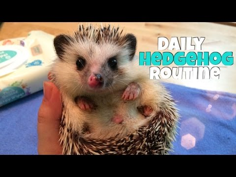 Hedgehog Care: Daily Hedgehog Routine