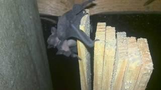 Маленькие летучие мыши обнимаются и пищат на чердаке