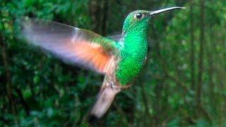 Колибри птичка (Hummingbird) - красивая подборка под музыку