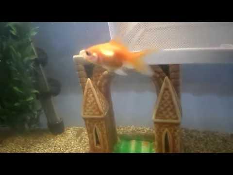 Гуппи, Золотые рыбки, Петушки и.т.п. - один аквариум. Эксперимент прошел успешно. Все живы.