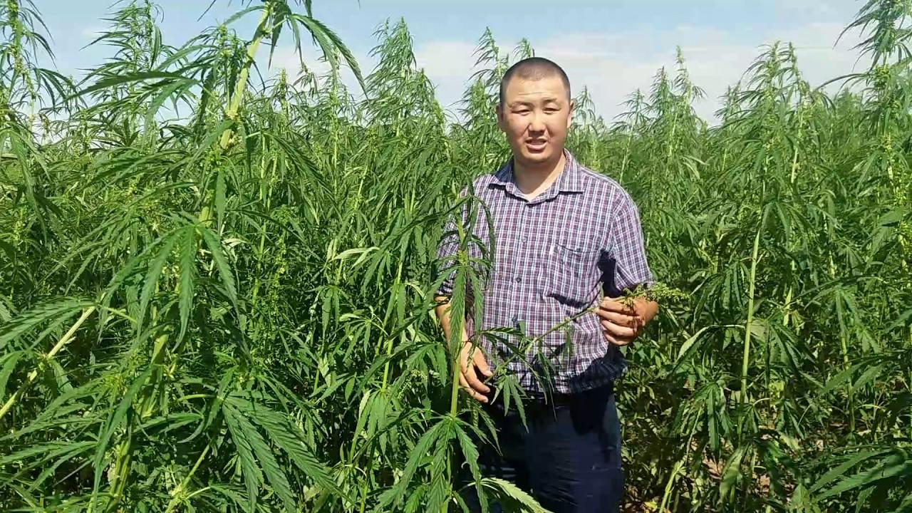 Казахстан конопля фото сбор и хранение семян конопли
