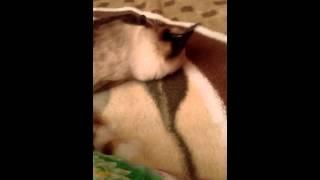 Бешаная Невская маскарадная кошка