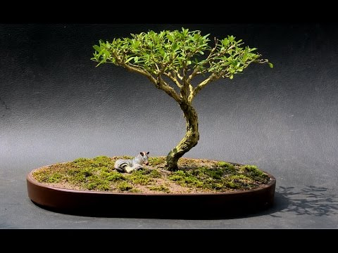 African Style, Serissa Bonsai, July 2015