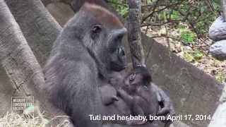 WCS Bronx Zoo Welcomes Two Newborn Gorillas to Troop