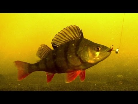 подводное видео окунь щука