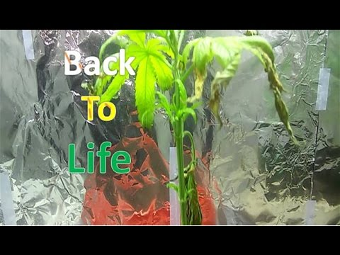 Bringing Marijuana Plant Back To Life | Wesss |