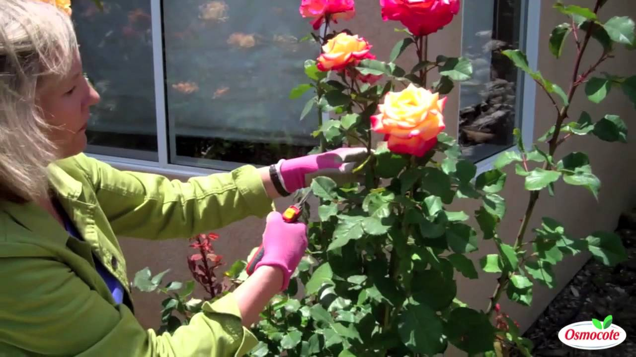 Garden Tutorial Summer Rose Pruning Youtube