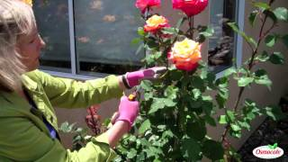Garden Tutorial: Summer Rose Pruning