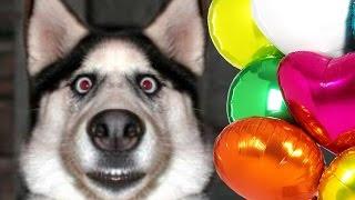 Самый смешной в мире подарок собаке на День Рождения(Хозяин решил устроить своей собаке настоящий праздник на день рождения – подарил несколько воздушных..., 2015-07-17T15:54:03.000Z)