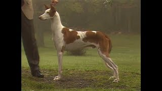 Ibizan Hound - Podenco Ibizenco - イビザン・ハウンド - AKC Dog bree...
