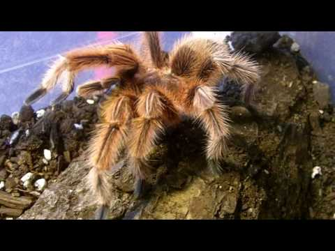 Tarantula Feeding Video 134   Part 2 - Post Valentine's Day