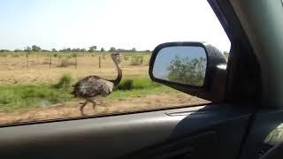 Дорожный бегун существует или страус развил скорость более 50 км/ч