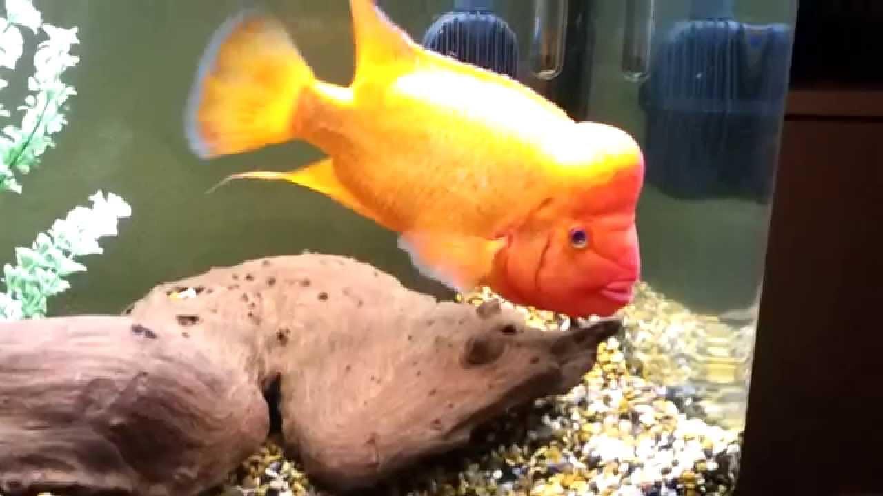 Red devil cichlid youtube for Red devil fish for sale